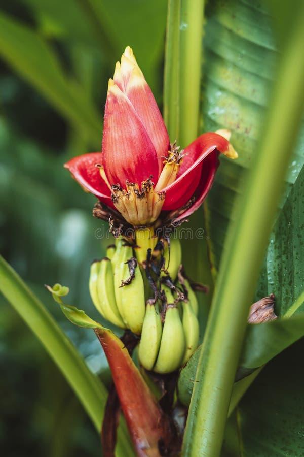 Mini flor da banana na princesa do conservatório de Gales imagem de stock royalty free