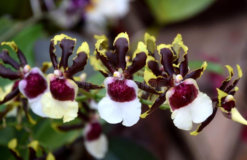 mini floraciones florecientes manchadas Púrpura-blancas de la orquídea foto de archivo libre de regalías