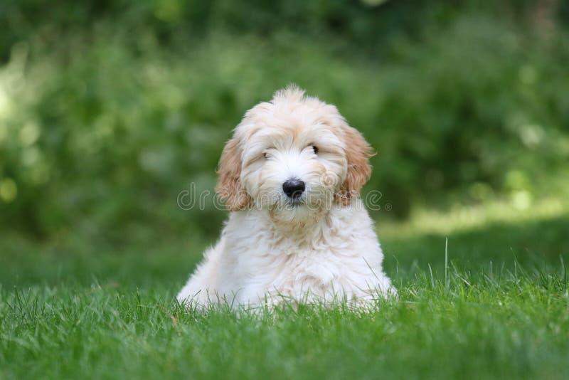 Mini Golden Doodle Puppy in der Sommerzeit stockfotos