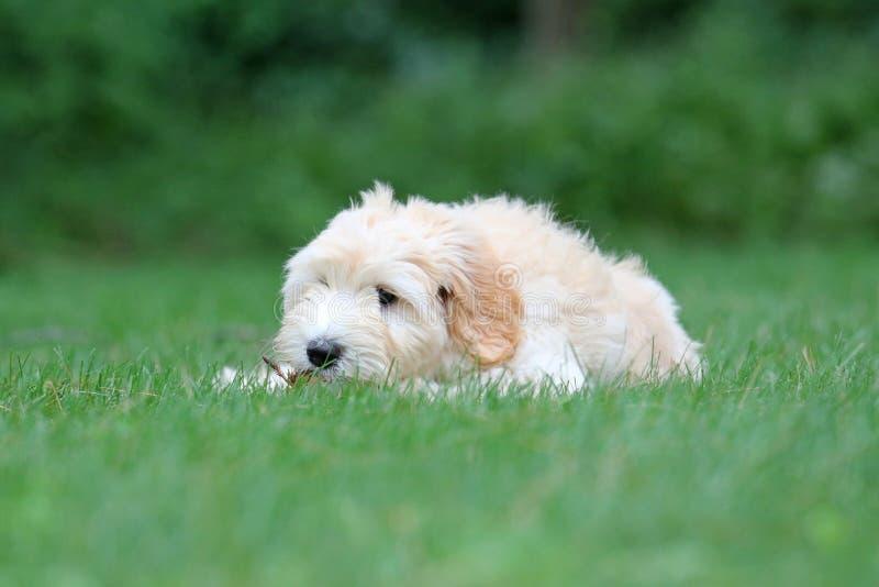 Mini Golden Doodle Puppy en verano imagenes de archivo