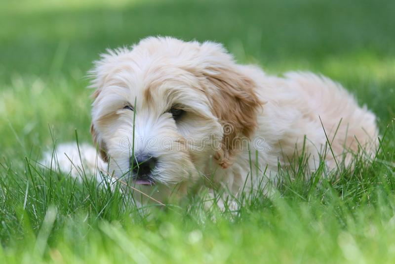 Mini Golden Doodle Puppy Lying en hierba del verano foto de archivo