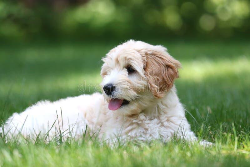 Mini Golden Doodle Puppy Lying en un patio trasero imagenes de archivo