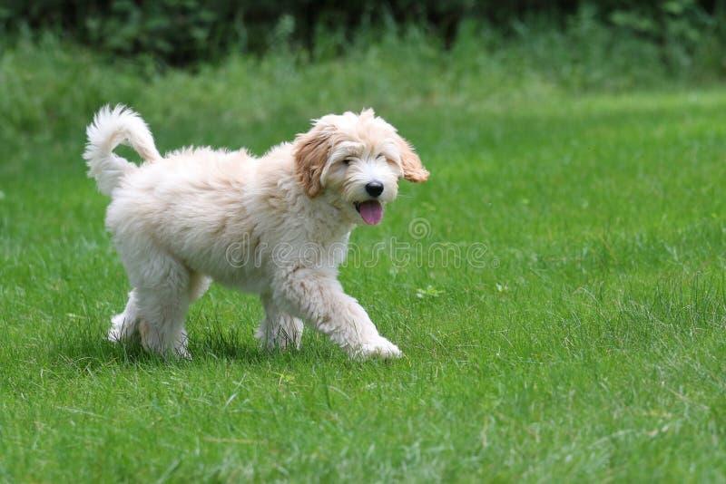 Mini Golden Doodle Puppy Walking en un patio trasero fotografía de archivo