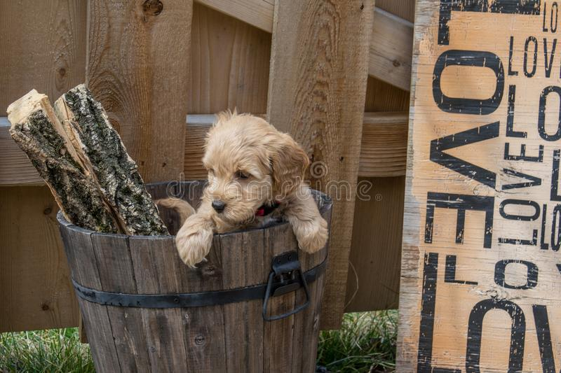 Mini Goldendoodle puppy stock photography