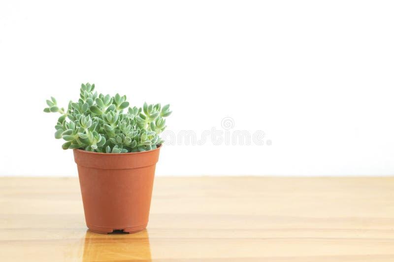 Mini Green Crassula Succulent Flowering Plants Pot royalty free stock photos
