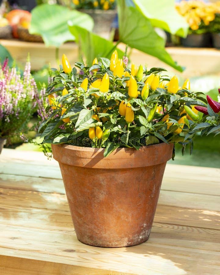 Mini hete Spaanse peperpeper in een pot van de kleibloem Het plantaardige Festival van de de struikoogst van de jalapenopeper gel royalty-vrije stock foto's