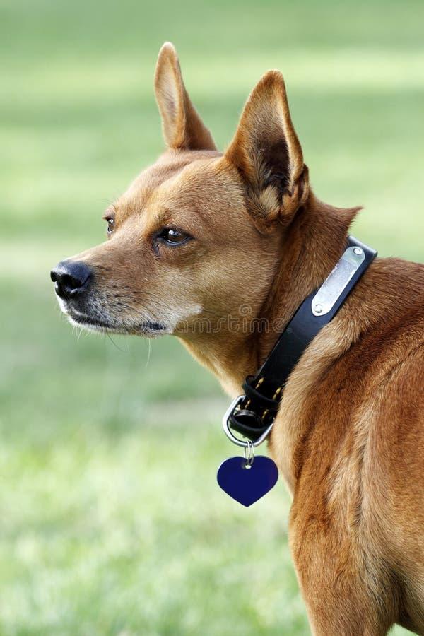 Mini-hond. royalty-vrije stock foto's