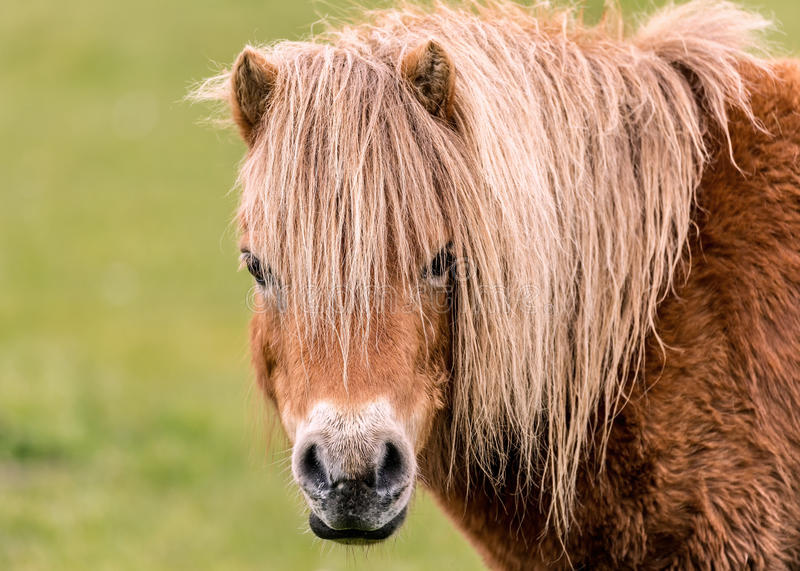 Mini Horse Looking at the Camers. A mini horse looking straight at the camera stock images