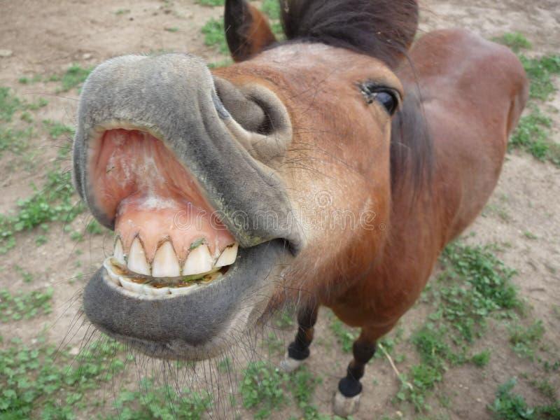 Mini Horse und enormes L?cheln lizenzfreies stockfoto