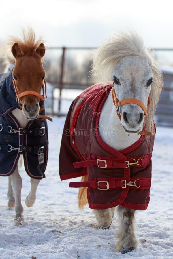 Mini Horses Royalty Free Stock Image