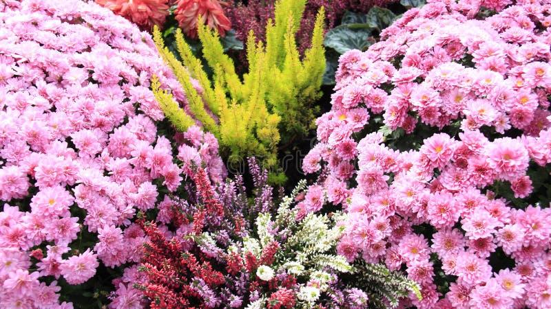 Mini jardim Rosa vermelho de florescência de florescência doce Violet Chrysanthemums imagens de stock royalty free