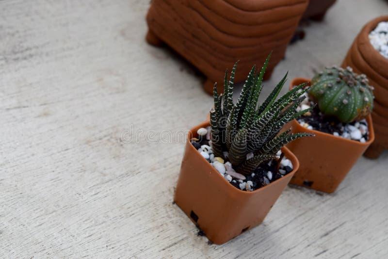 Mini kaktus i Puszkować rośliny umieszczaliśmy/Trzy miniaturowy kaktusowy drzewo obraz royalty free