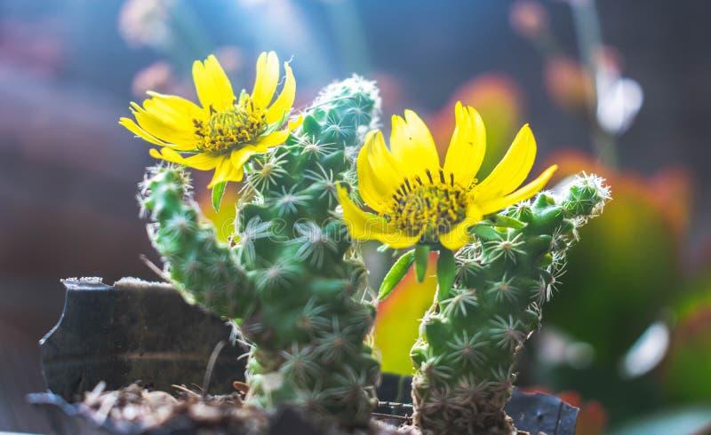 Mini kaktusowi whit koloru żółtego kwiaty zdjęcie stock