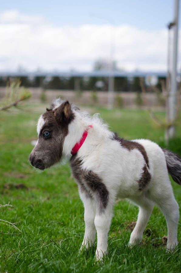 Mini karłowaty koń przy gospodarstwem rolnym źrebię mini koń obraz royalty free