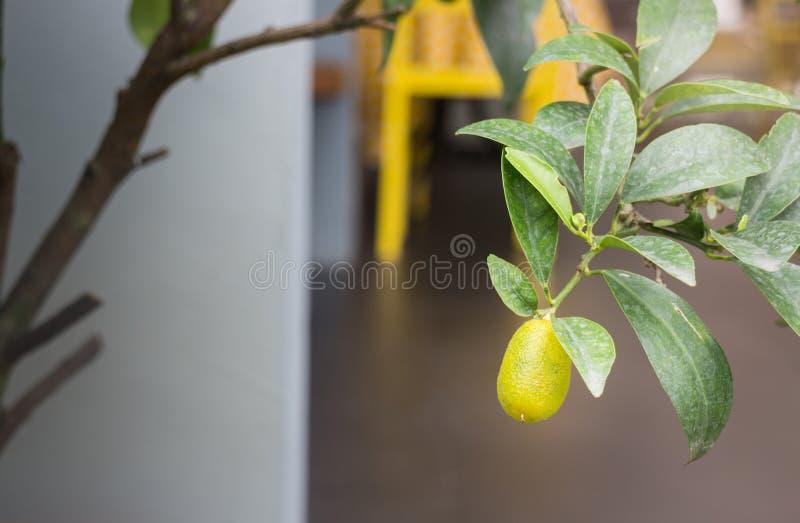 Mini ogrodowa roślina z pomarańczową owoc zdjęcie stock
