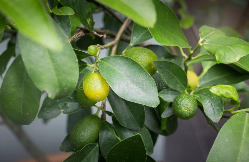 Mini ogrodowa roślina z pomarańczową owoc fotografia royalty free