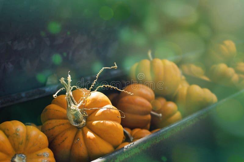 Mini- orange pumpor i nedgång skördar bakgrundsinställningen Utmärkt för det halloween eller höstdiagrammet royaltyfri bild