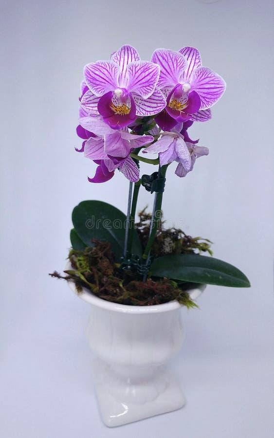 Mini orquídeas imagens de stock