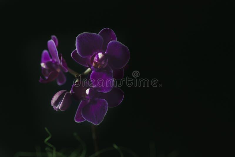 Mini Phalaenopsis da orquídea em um potenciômetro com flores e botões no fundo escuro imagens de stock royalty free