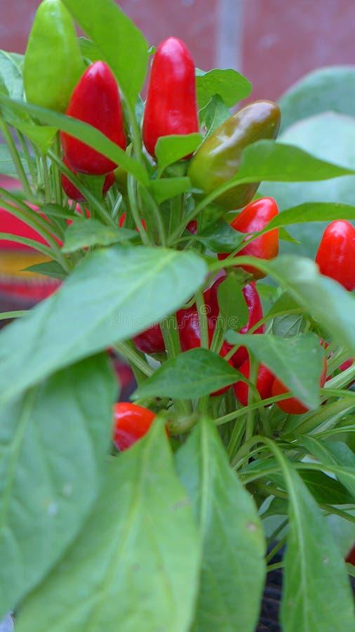 Mini pimentas doces fotografia de stock