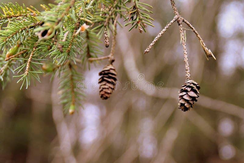 Mini Pinecone photographie stock