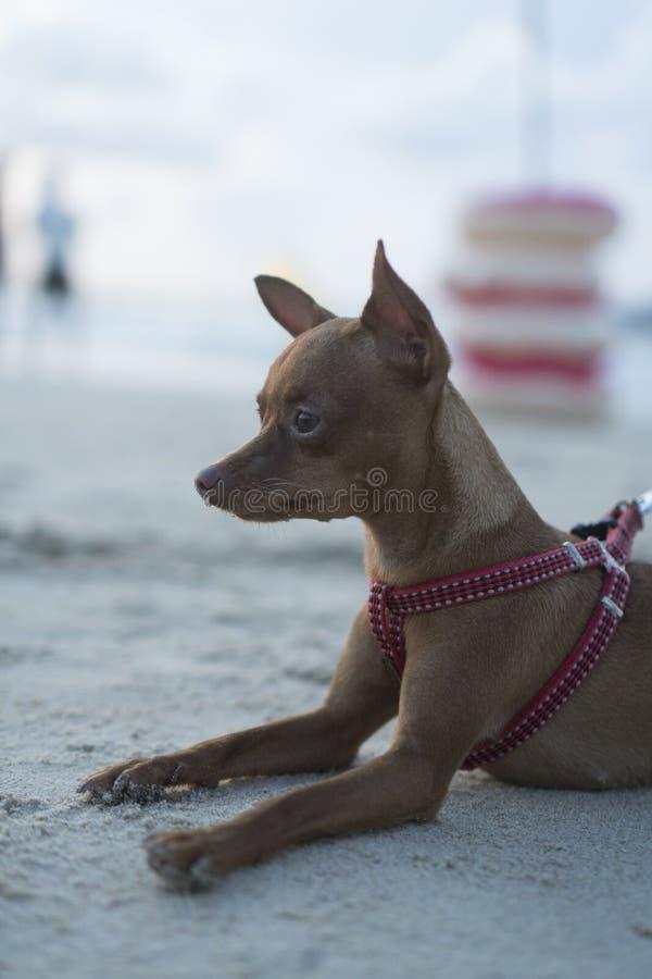 Mini- pinscher på den sandiga stranden fotografering för bildbyråer
