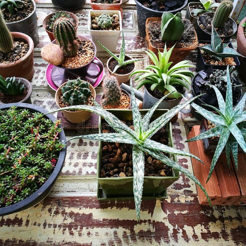 mini plant of cactus stock image