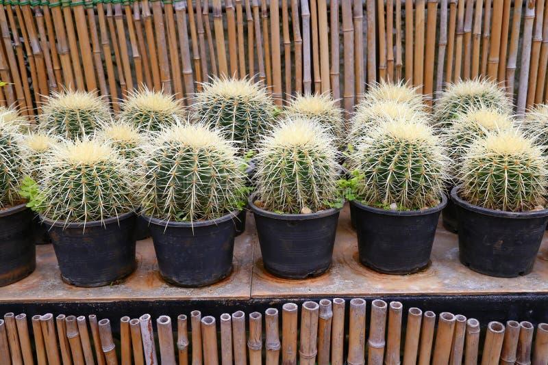 Mini plantas do cacto fotografia de stock royalty free