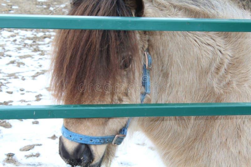 Mini- ponny bak porten royaltyfria foton