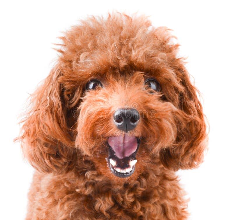 Mini Poodle sveglio fotografia stock