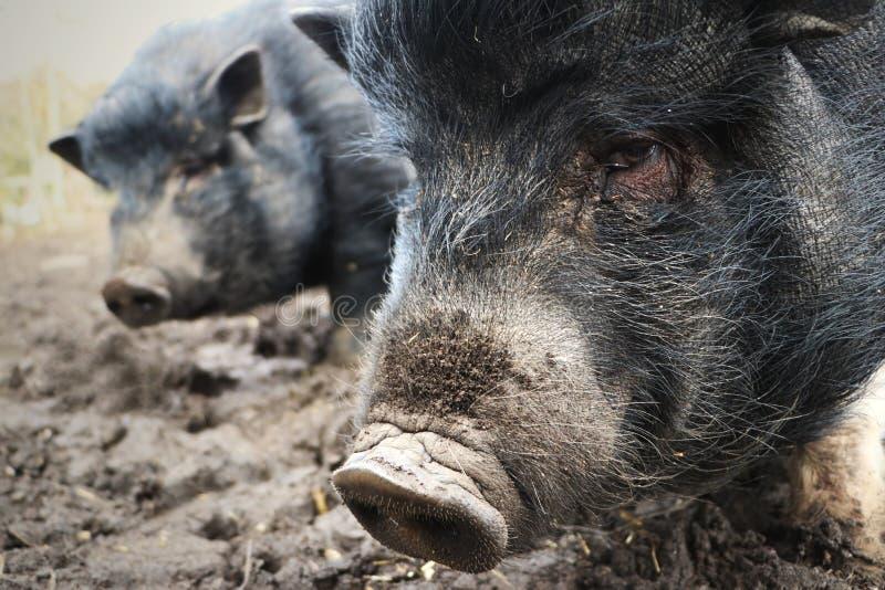 Mini porc ou porcs dans la boue photographie stock libre de droits
