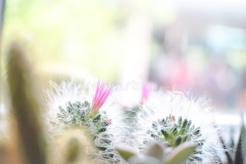 Mini Powder Puff Pincushion avec l'usine rose de fleur sur le pot photo stock
