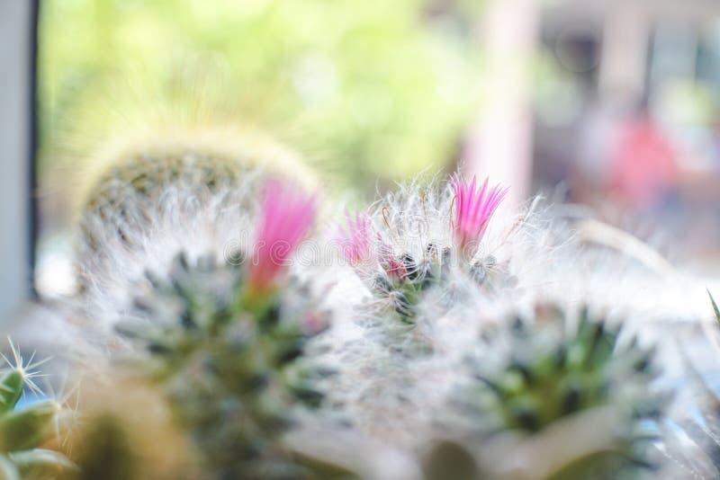Mini Powder Puff Pincushion con la planta rosada de la flor en el pote fotos de archivo