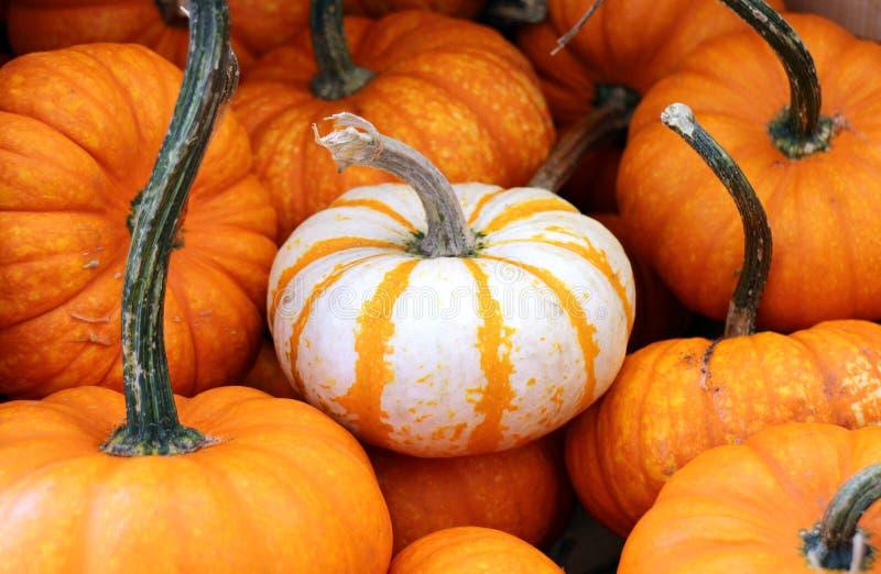 Mini Pumpkin photographie stock libre de droits