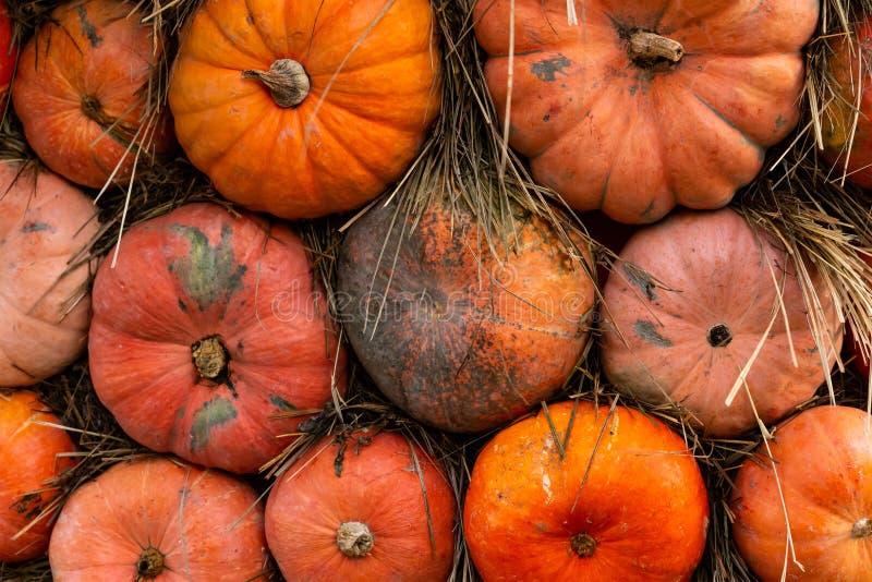 Mini pumpkin orange round vegetable autumn pattern base close-up ribbed stock images