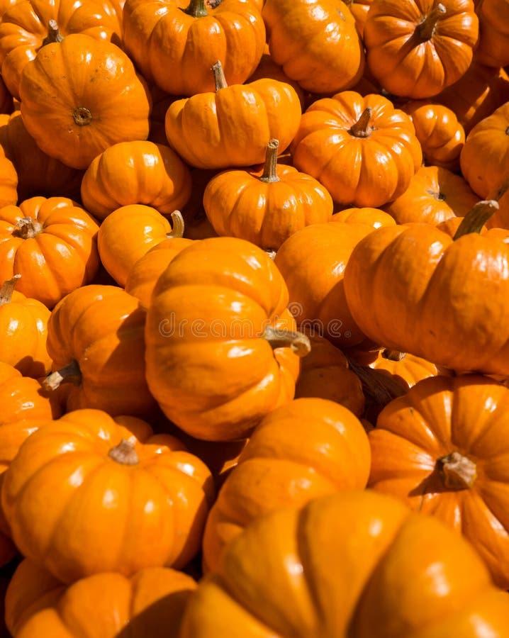 Mini Pumpkins em um grupo fotos de stock royalty free