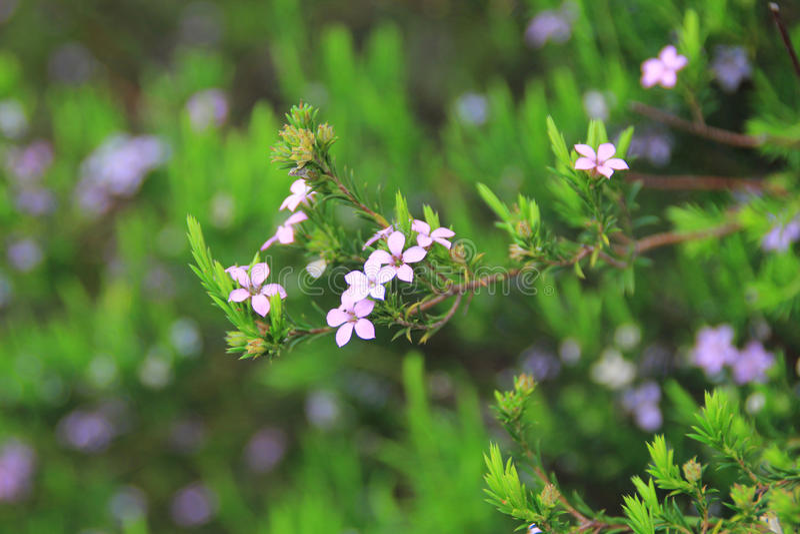 Mini Purple Flower Bush stock photos