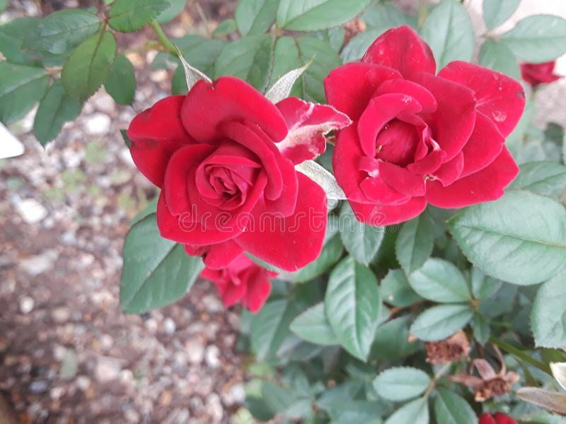 Mini red roses royalty free stock photo