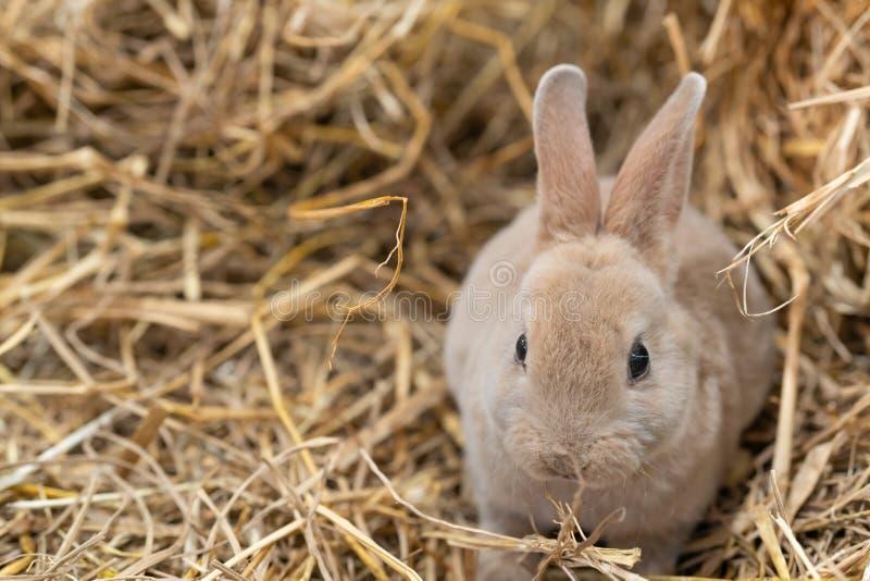 Mini Rex is een ras van tam konijn dat in 1984 in Florida werd gecreeerd De Rex-verandering, in Frankrijk dat in de negentiende w stock foto's