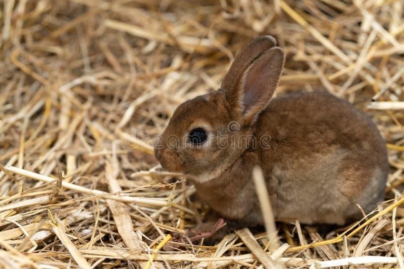 Mini Rex is een ras van tam konijn dat in 1984 in Florida werd gecreeerd De Rex-verandering, in Frankrijk dat in de negentiende w royalty-vrije stock afbeeldingen