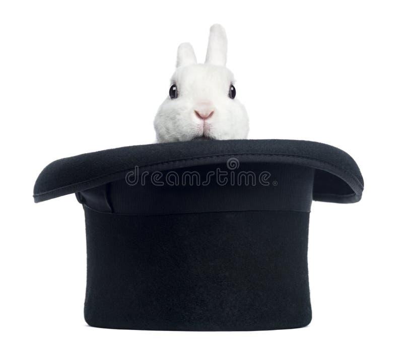 Mini-rex Kaninchen, das von einem Zylinder, lokalisiert erscheint lizenzfreie stockfotografie