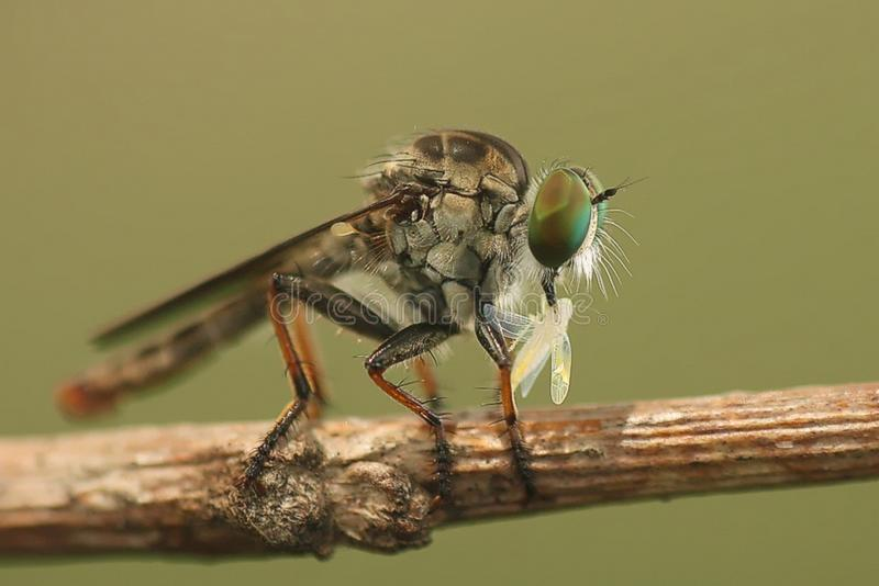 Mini Robber Fly photos libres de droits