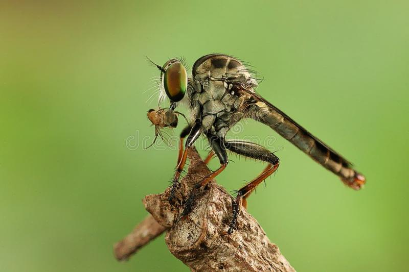 Mini Robber Fly dans l'action photographie stock