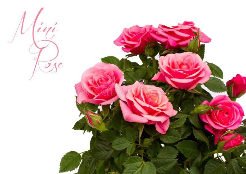 Mini rosa rosada aislada fotos de archivo