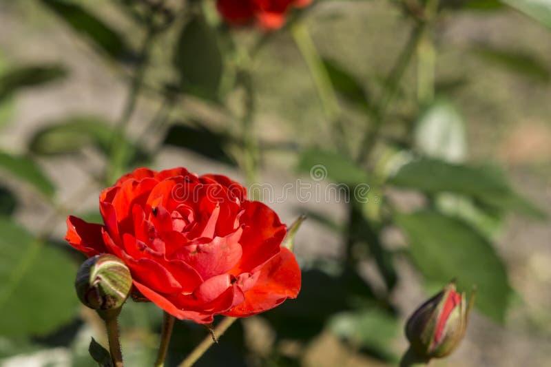 Mini Rose dans le jardin photo libre de droits