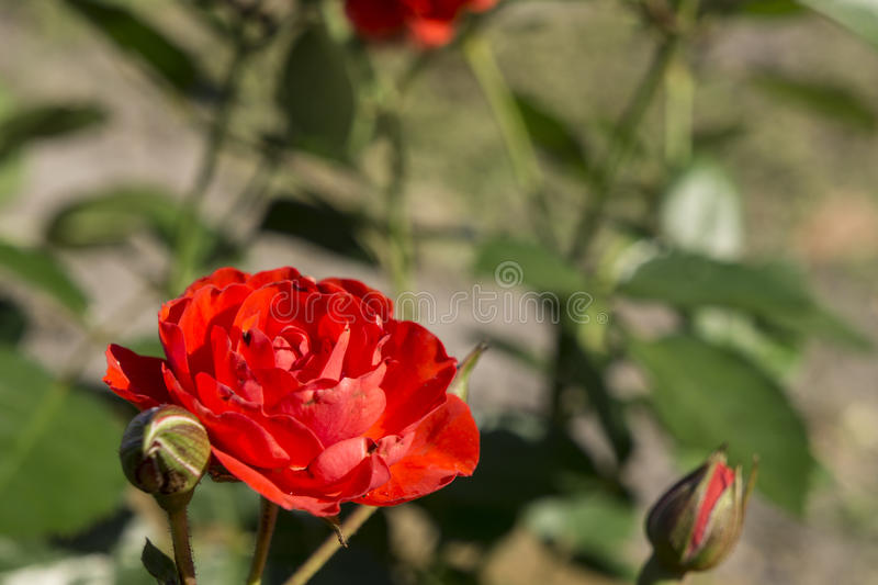 Mini Rose in Garden royalty free stock photo
