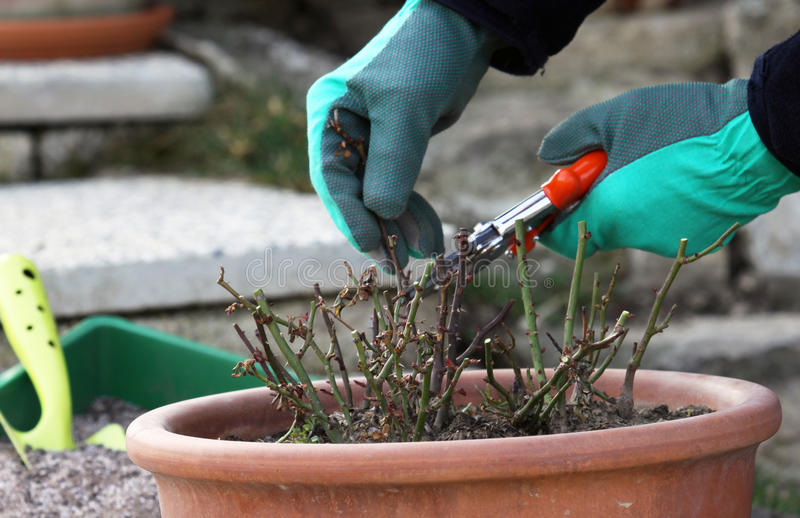 Mini roses pruning. Springtime is time for pruning miniature roses in to the pots and fertilize it stock image