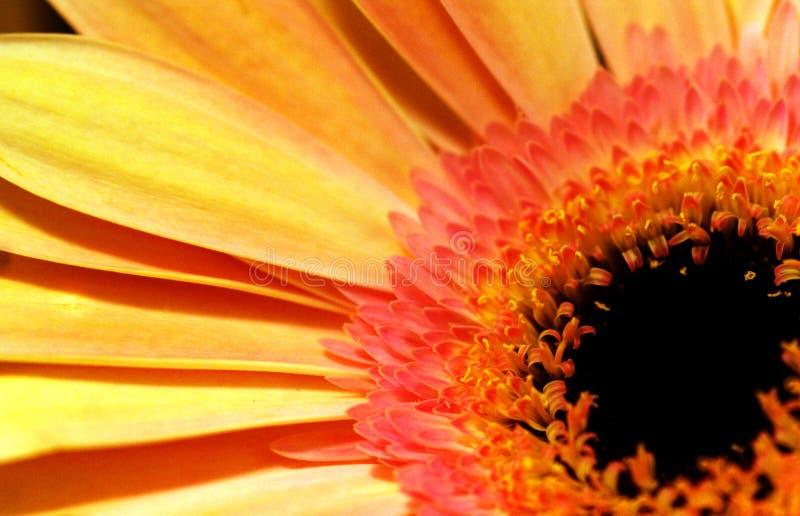 Mini słonecznik zdjęcia stock