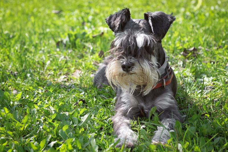 Mini Schnauzer images stock