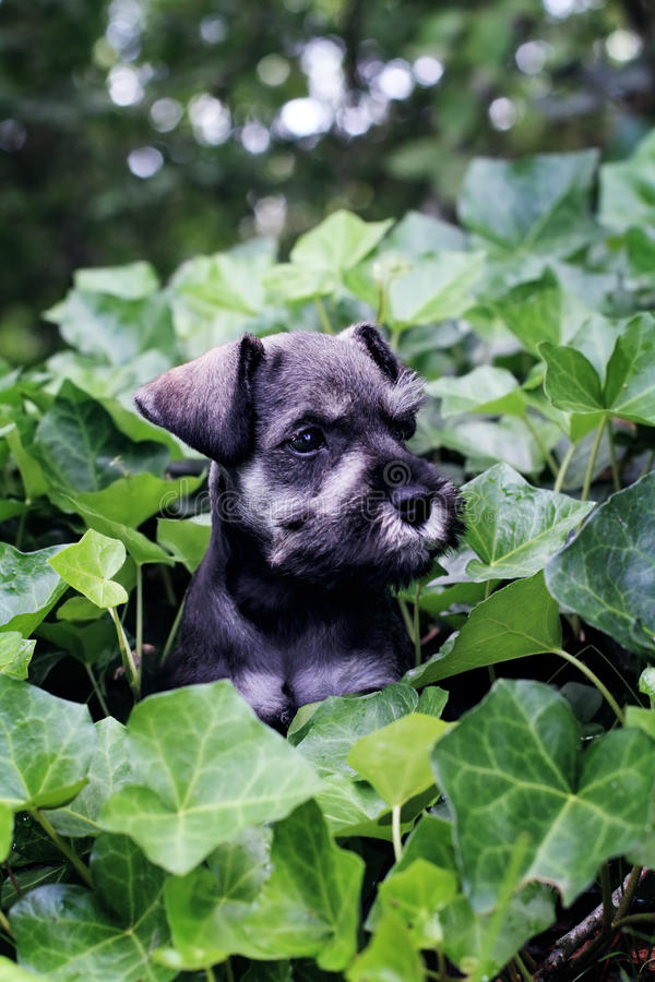 Mini Schnauzer in English Ivy. Six week old salt and pepper Mini Schnauzer playting in a bed of ivy. Extreme shallow depth of field with selective focus on royalty free stock image